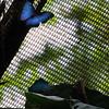 Morpho butterfly.