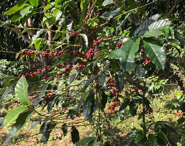 Coffee Plant, Finca Rosa Blanca