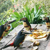 The toucan convention.  Free food for all.