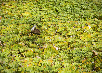 Pond Lilies, Costa Rica