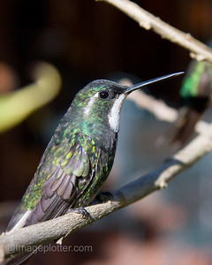 Magnificient Hummingbird, Female, Costa Rica