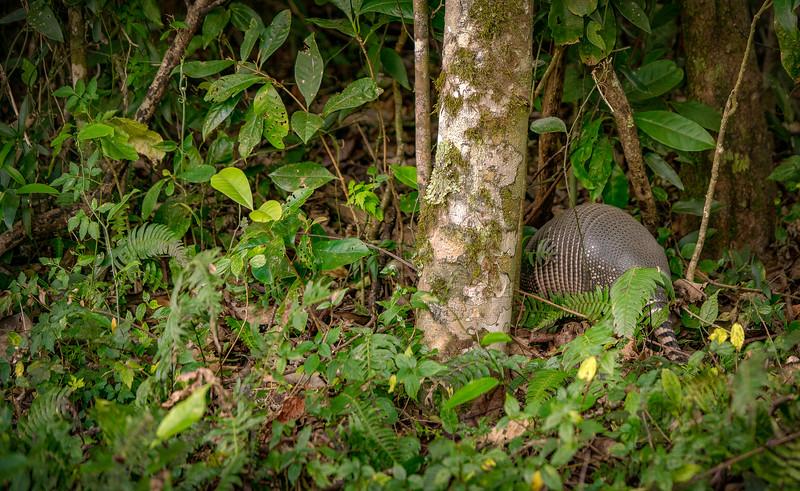 Costa Rican Armadillo