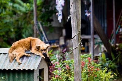 A guard dog...