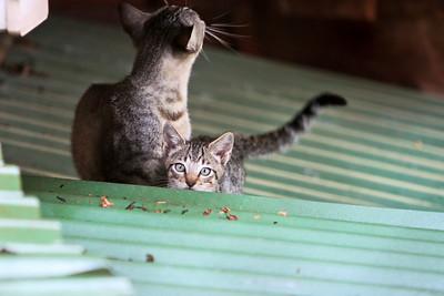 Mama cat and a kitten at Amor Del Mar in Montezuma, Costa Rica