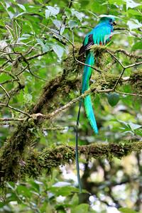 Quetzal at Monteverde Reserve