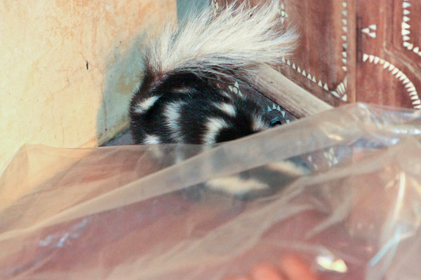 this Spotted skunk broke into our hotel!