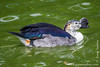 Knob-billed Duck