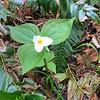 Spring flowers. Trillium?