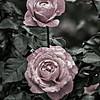 """""""End of the Season @ The Rose Garden"""""""
