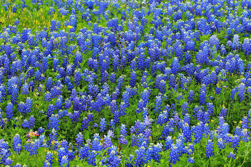 South of Weimar, Texas, March 29, 2012. The Bluebonnets were early this year. Excessive rain thwarted their growth in the normal Texas hot spots northwest of Houston.