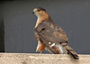 A rooftop in the courthouse square of downtown Columbus, Texas was the hangout of this well-marked adult Cooper's Hawk. Taken from about 60 feet away.