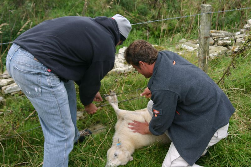 Freeing an ewe