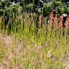 Wild grasses in Yellowstone