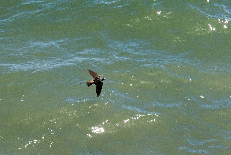 Cliff Swallow over Water