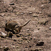 Uintah Ground Squirrel