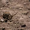Uintah Ground Squirrel