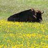 Bison in yellow