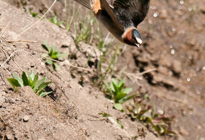 Cliff Swallow coming in