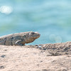 Iguana on the rocks