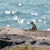 Iguana on the rocks