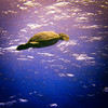Green sea turtle, a protected, endangered species.