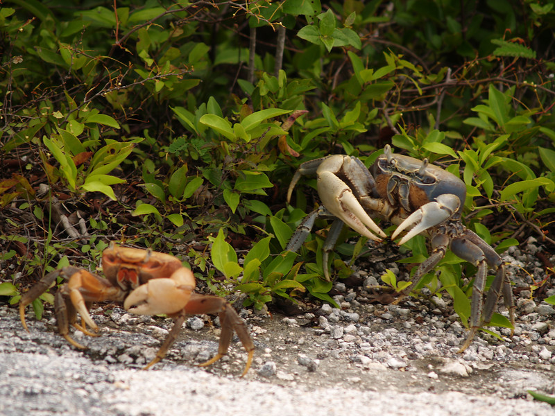 CRABS ALONG THE BEACH PATH