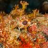 Scorpionfish - Dive 7 - Paso del Cedral