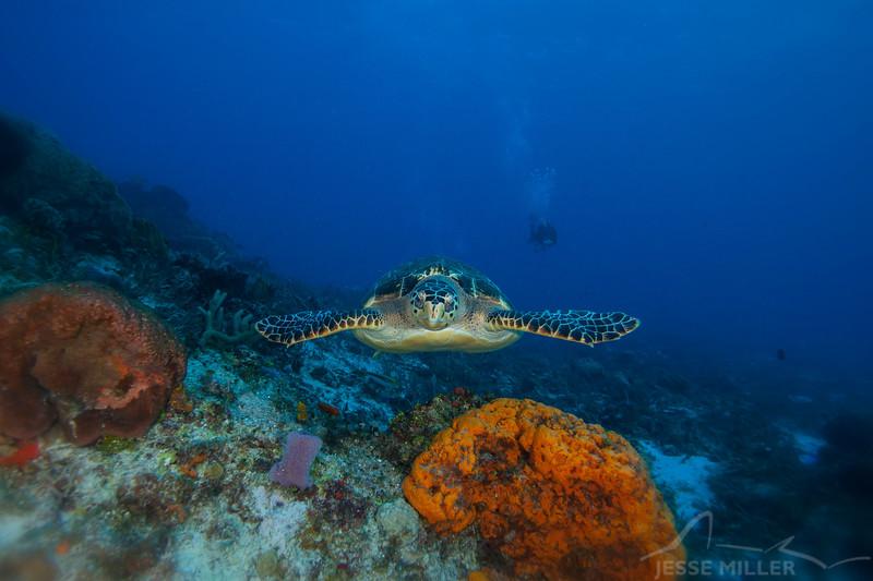 Sea Turtle - Dive 15 - Paso del Cedral