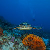 Sea Turtle - Dive 15 - Paso del Cedral