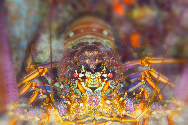 Spiny Lobster - Dive 18 - San Francisco