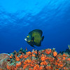 Butterfly Fish - Dive 16 - Punta Tunich