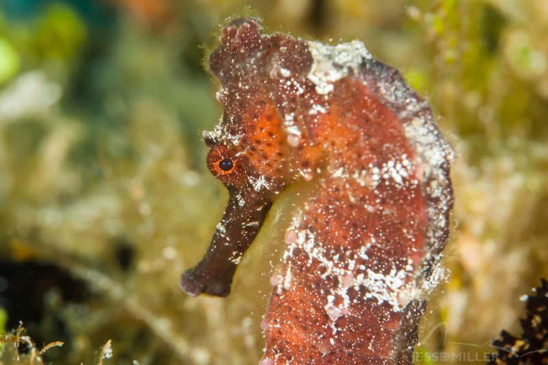 Seahorse - Dive 11 - Villa Blanca Wall