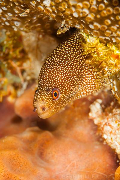 Goldentail Moray Eel - Dive 14 - Tormentos