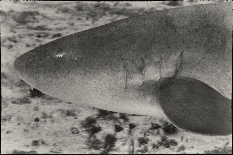 Nurse Shark - Dive 14 - Tormentos