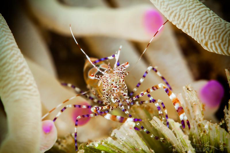Cleaner Shrimp - Dive 20 - Palancar Caves