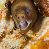 Goldentail Moray Eel - Dive 8 - Yucab