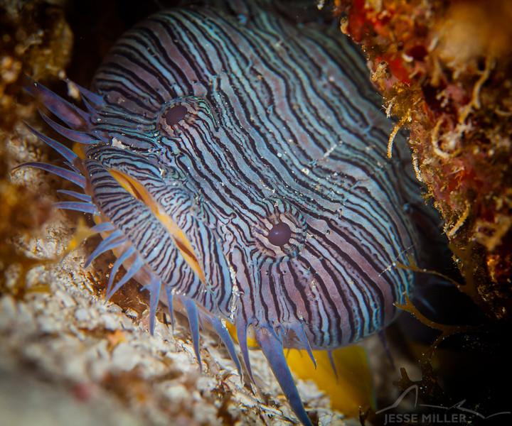 Splendid Toadfish - Dive 17 - Santa Rosa Wall