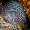 Splendid Toadfish - Dive 17 - Santa Rosa Wall