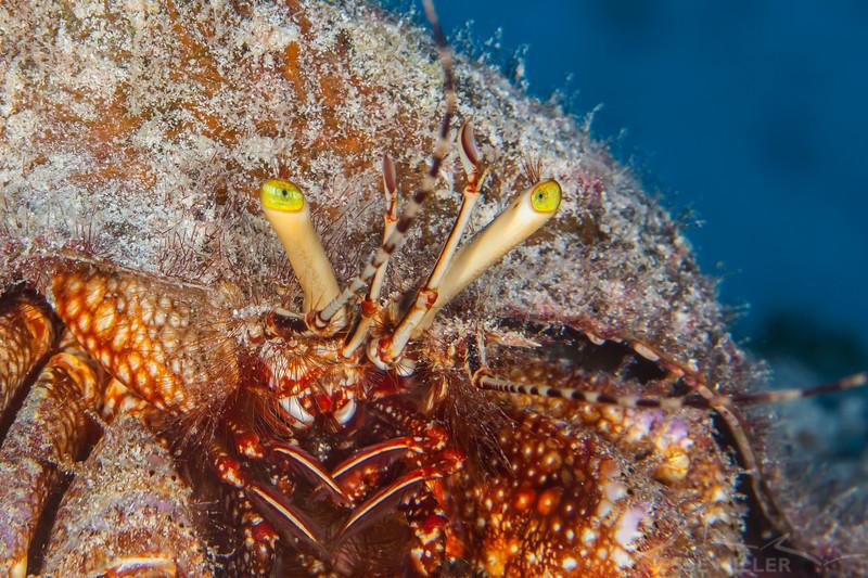 Hermit Crab - Dive 20 - Palancar Caves