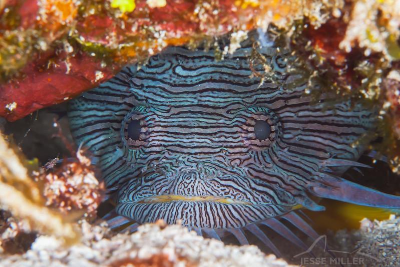 Splendid Toadfish - Dive 7 - Paso del Cedral