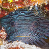 Splendid Toadfish - Dive 7 - Paso del Cedral