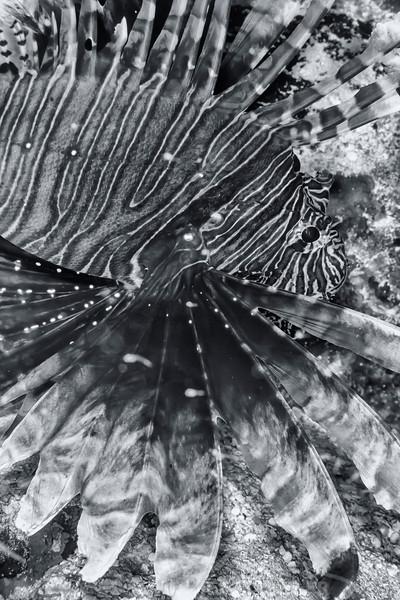 Lionfish - Dive 12 - Maracaibo