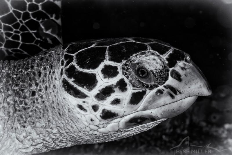 Sea Turtle - Dive 19 - Colombia Deep