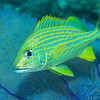 Blue Striped Grunt - Dive 21 - Villa Blanca Wall