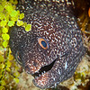 Moray Eel - Dive 19 - Colombia Deep
