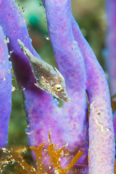 Juvenile Filefish - Dive 1 - Villa Blanca Wall