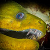 Green Moray Eel - Dive 19 - Colombia Deep