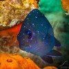 Damselfish - Dive 21 - Villa Blanca Wall