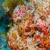 Scorpionfish - Dive 14 - Tormentos