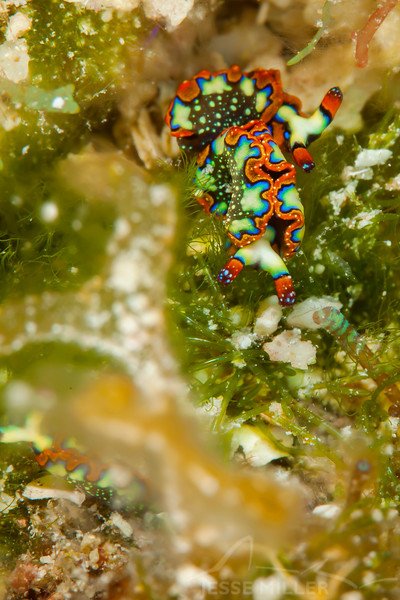 Painted Elysia Nudibranch - Dive 13 - Colombia